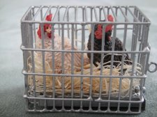 2 Chickens in Crate